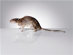 老鼠太多了,怎么办